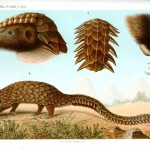 Animal - Plated - Echidna, armadillo-like
