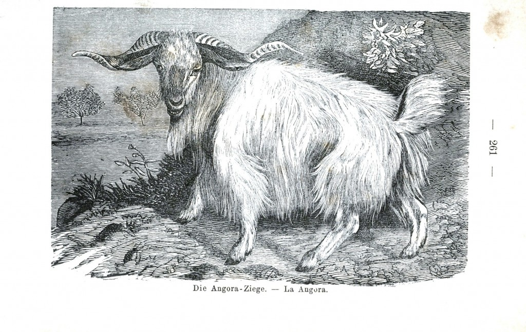 Animal - Range and Farm - Goat, Argentinian