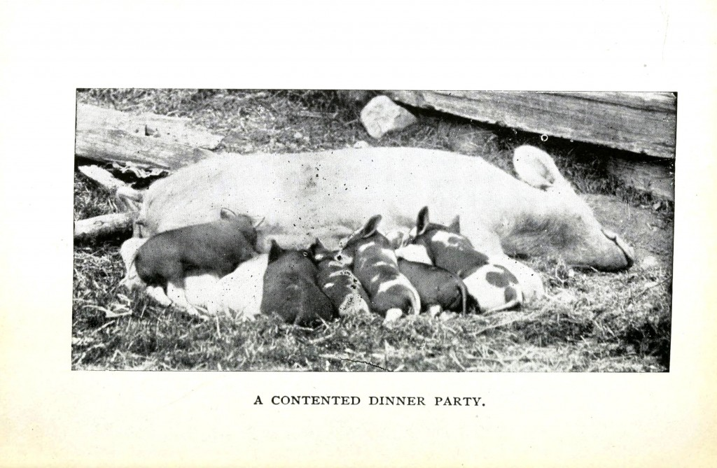 Animal - Range and Farm - Pig - Piglets suckling