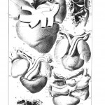 Animal - Reptile - Anatomy - Reptilian heart