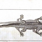 Animal - Reptile - Gros Lizard