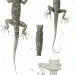 Animal - Reptile - Lizard, various