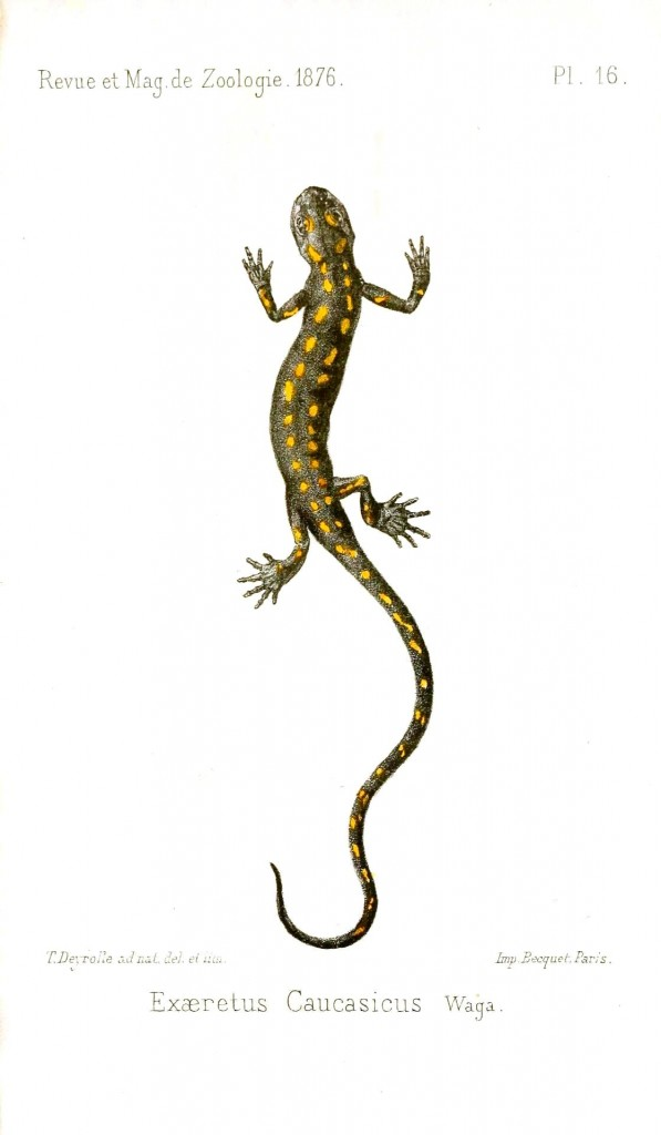 Animal - Reptile - Salamander