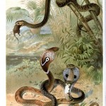 Animal - Reptile - Snake - Cobras