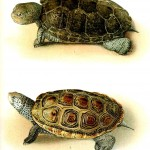 Animal - Reptile - Turtle, Malaclemmys 1