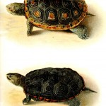 Animal - Reptile - Turtle, Malaclemmys 2