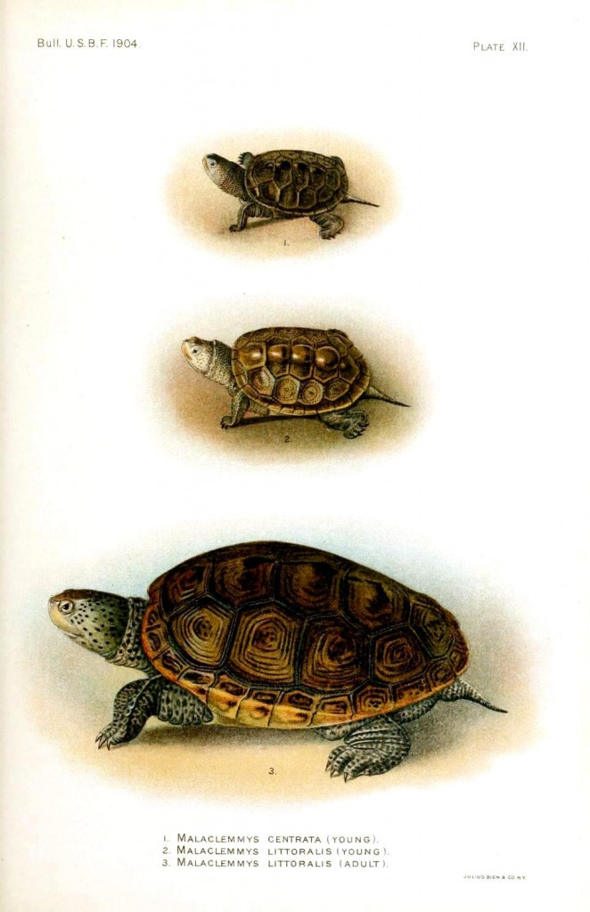 Animal - Reptile - Turtle, Malaclemmys 3