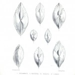 Animal - Sea Shell - Bivalve drawing 2