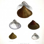 Animal - Sea Shell - Bivalve drawing 3