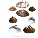 Animal - Sea Shell - Bivalve drawing 4