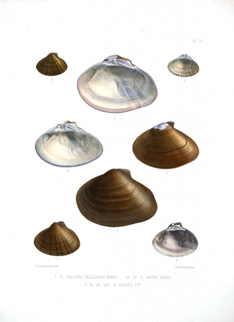 Animal - Sea Shell - Bivalve drawing 6