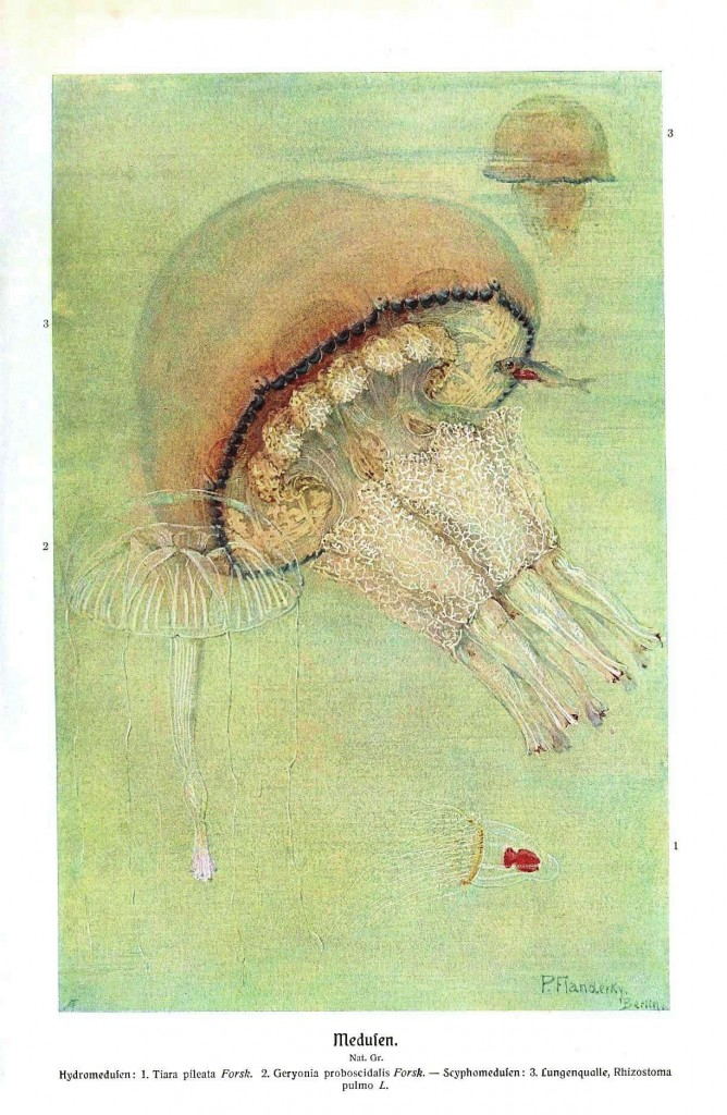 Animal - Sea Shell - Jellyfish