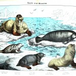 Animal - Sea mammal - Seals and manatees