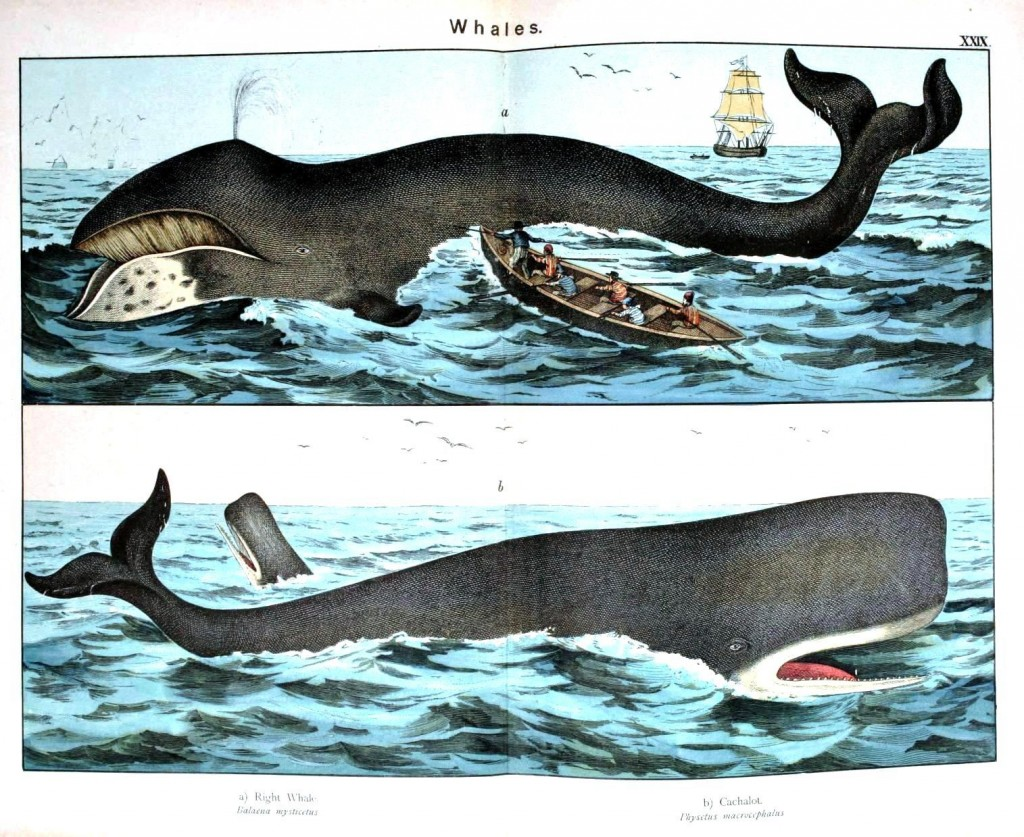 Animal - Sea mammal - Whales, illustration