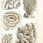 Animal - Sea shell - Coral, French 2