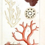 Animal - Sea shell - Coral, French 3