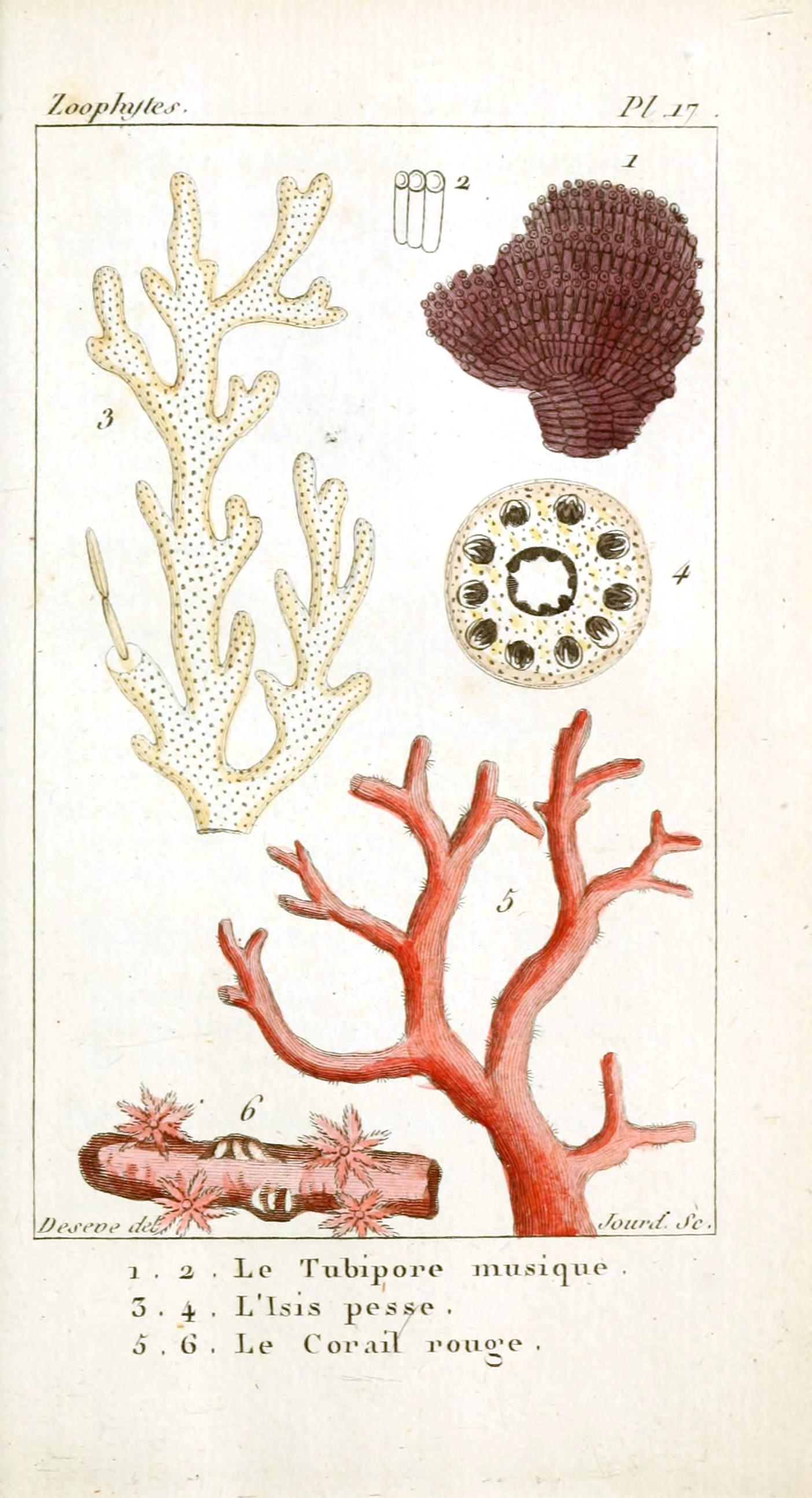 Vintage coral illustration viewing gallery