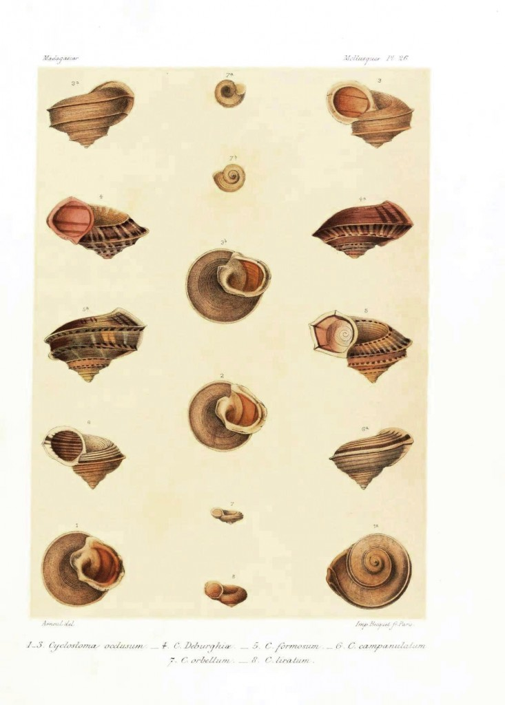 Animal - Sea shell - Madagascar mollusks 2