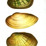 Animal - Sea shell - Mucket