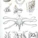Animal - Slime - Nudibranchia, anatomy