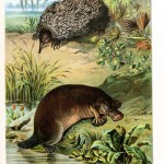 Animal - Wild - Platypus and Echidna