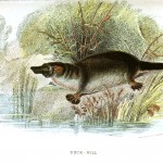 Animal - Wild - Platypus, duck bill