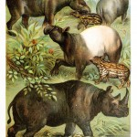 Animal - Wild - Rhinos and tapirs