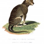 Animal - Wild - Thylacine wolf (Tasmanian tiger, extinct marsupial)