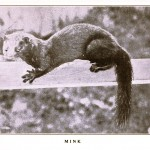 Animal - Woodland - Mink, photo