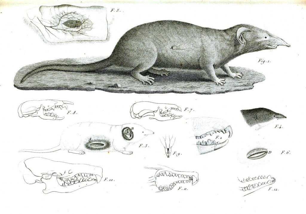 Animal - Woodland - Mole, anatomy