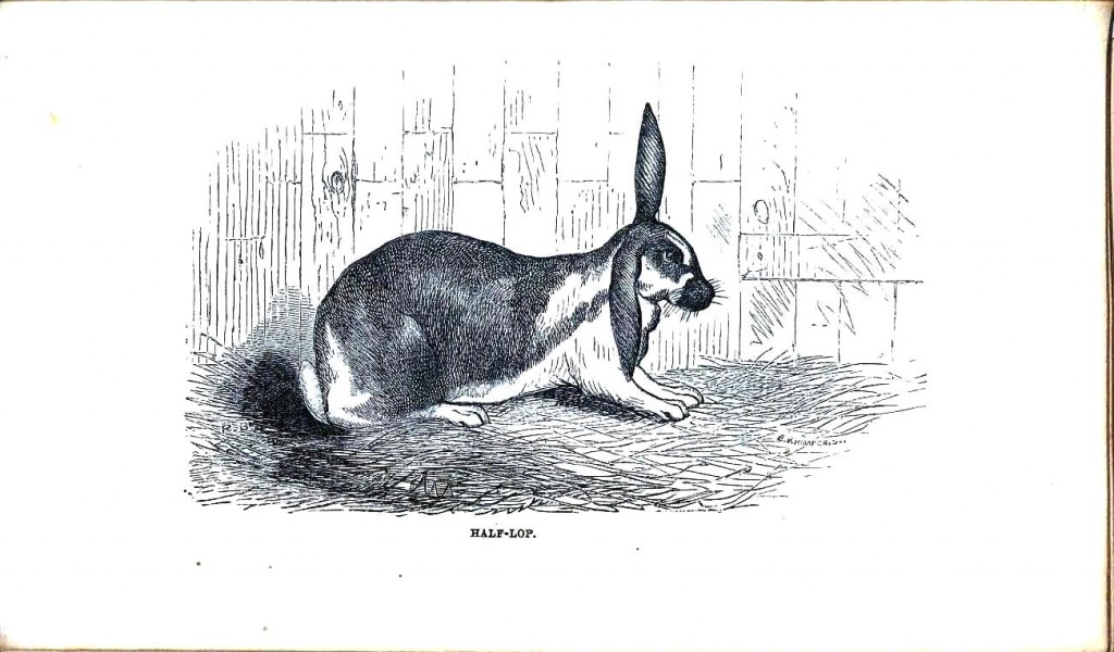 Animal - Woodland - Rabbit - Half Lop
