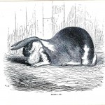 Animal - Woodland - Rabbit - Horn Lop