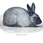 Animal - Woodland - Rabbit - Silver grey or riche