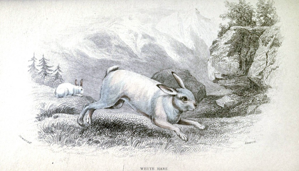 Animal - Woodland - Rabbit, white hare