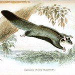 Animal - Woodland - Squirrel, flying phalanger