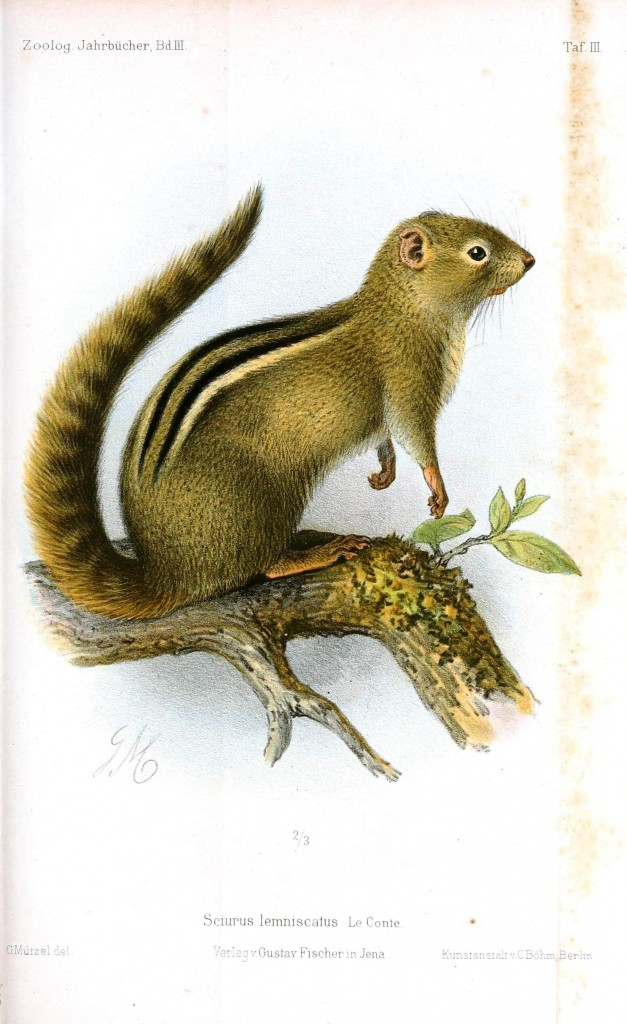 Animal - Woodland - Squirrel or chipmunk