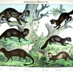 Animal - Woodland - Weasels, various