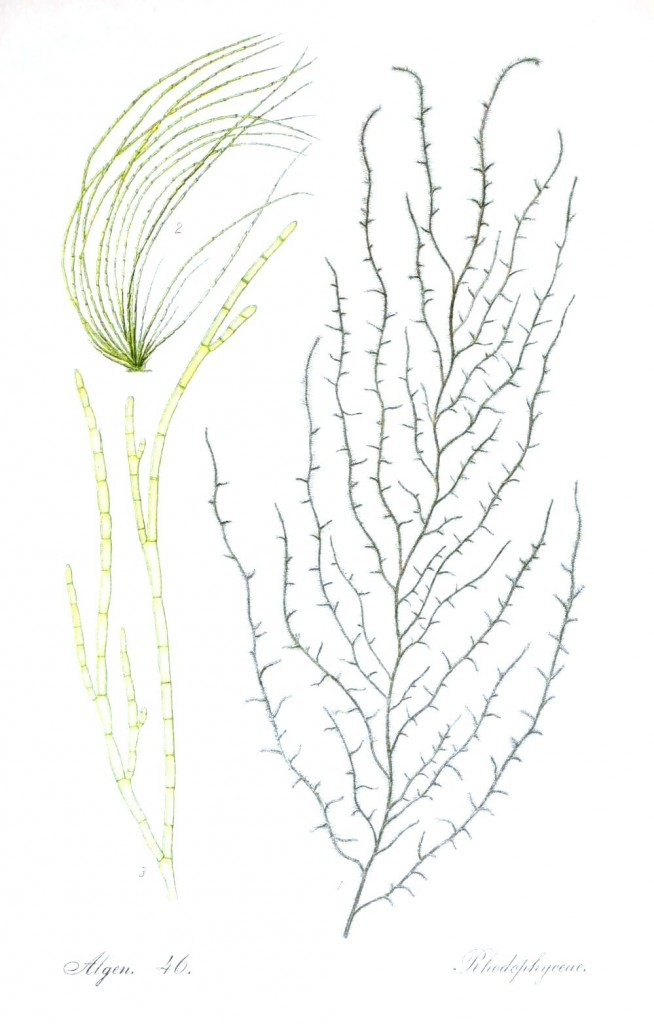 Botanical - Algae 3