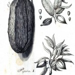 Botanical - Black and white - Cacao engraving 1 (1)