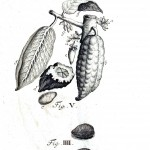 Botanical - Black and white - Cacao engraving 1 (2)