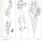 Botanical - Black and white - Islandic algae 10