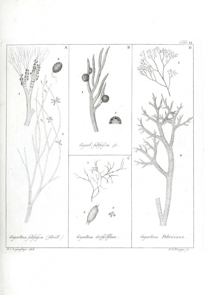 Botanical - Black and white - Islandic algae 11