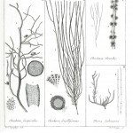 Botanical - Black and white - Islandic algae 13