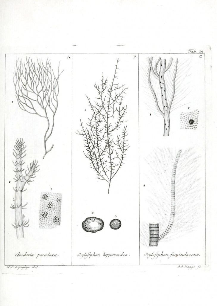 Botanical - Black and white - Islandic algae 14