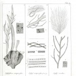 Botanical - Black and white - Islandic algae 15