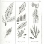 Botanical - Black and white - Islandic algae 2