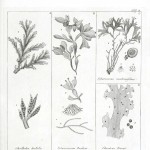 Botanical - Black and white - Islandic algae 3