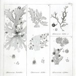 Botanical - Black and white - Islandic algae 4