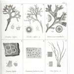 Botanical - Black and white - Islandic algae 5