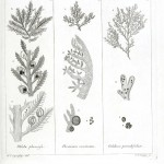 Botanical - Black and white - Islandic algae 9